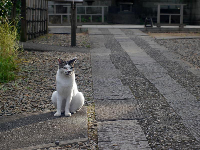 石参道の白キジ猫2