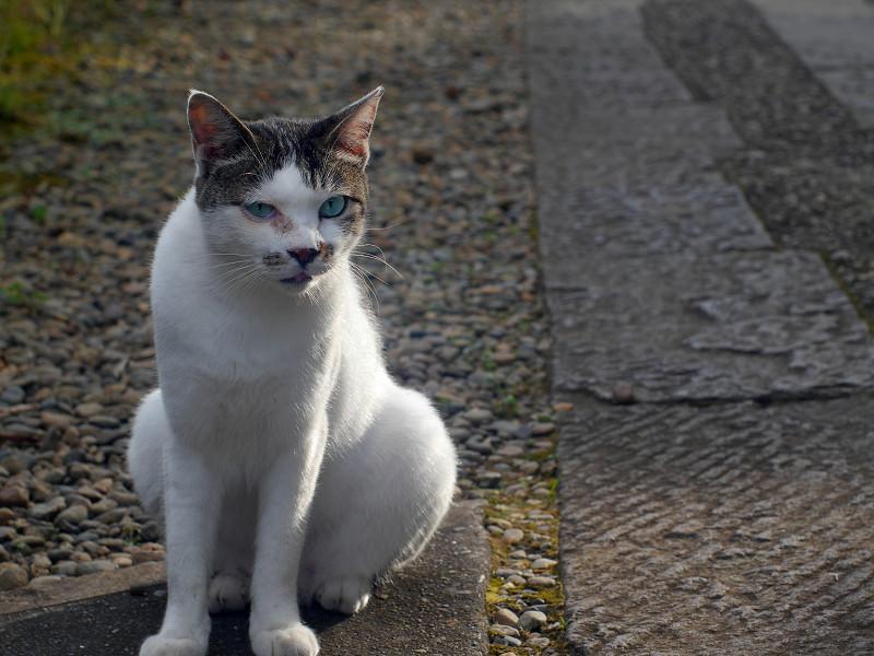 石参道の白キジ猫4