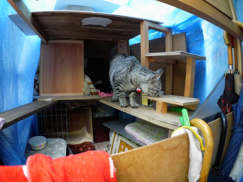 大きな猫ハウス内のサバトラ猫3