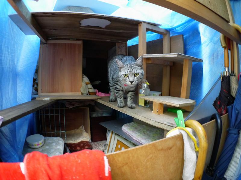 大きな猫ハウス内のサバトラ猫4