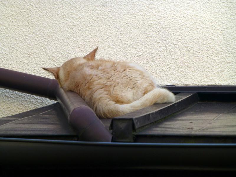 屋根で寝てる茶猫1
