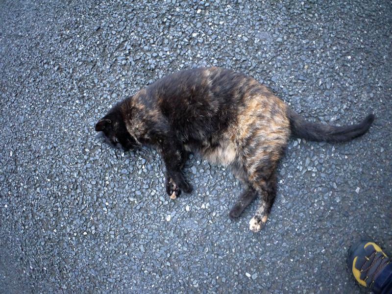 再会してた黒サビ柄猫1