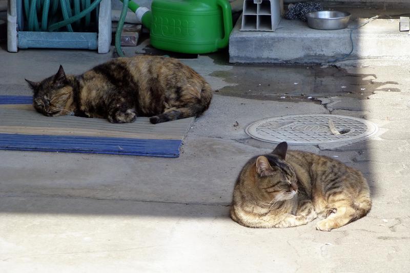まどろむ猫2匹1