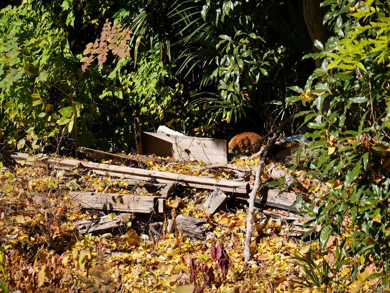 壮絶な空き地の茶トラ猫1