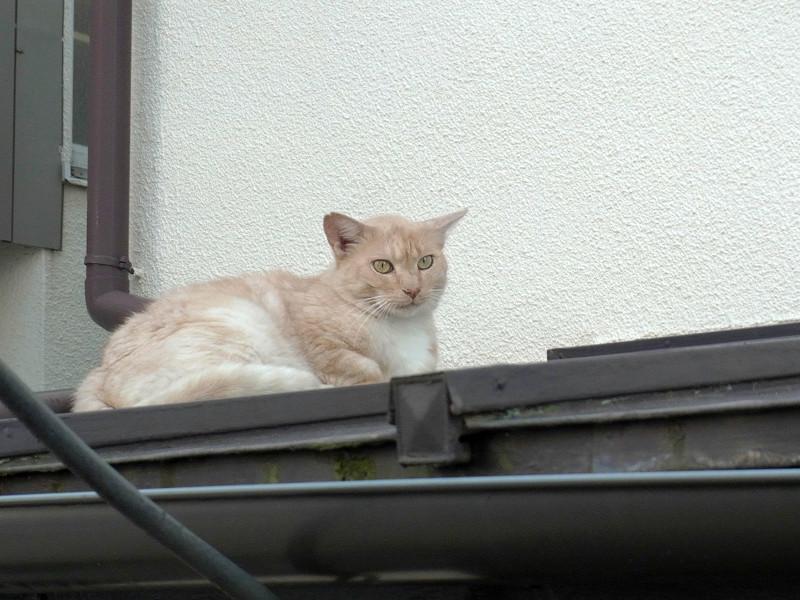 屋根で寝てる茶猫2