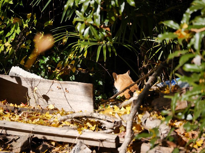 壮絶な空き地の茶トラ猫3