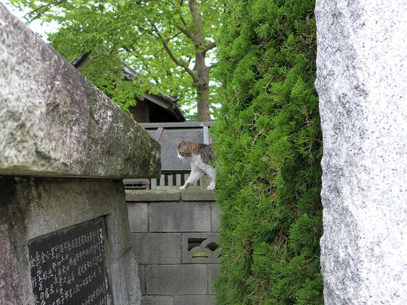 お寺の塀の上のキジ白猫1