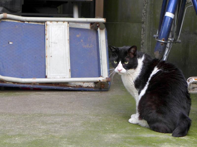 大柄黒白猫の欠伸1