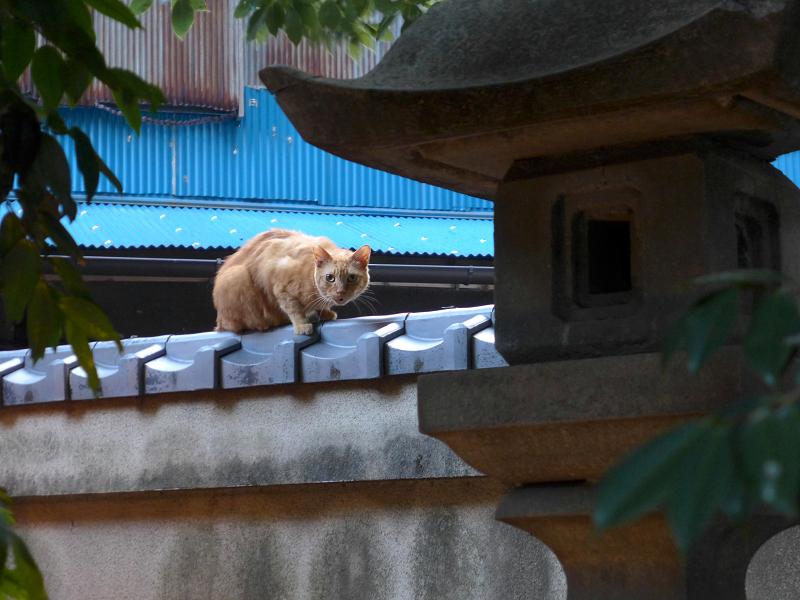 神社の塀の茶トラ猫1