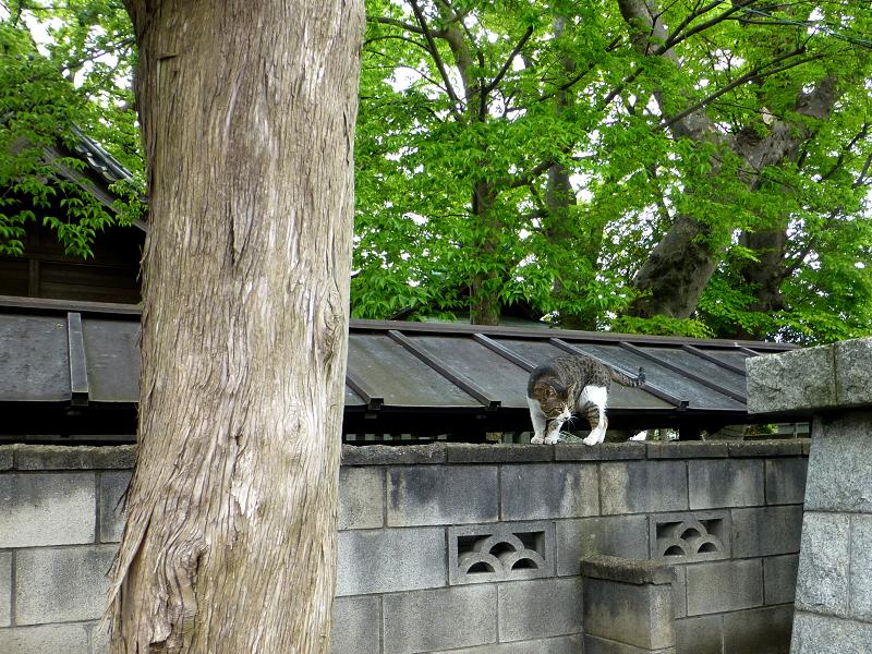お寺の塀の上のキジ白猫2