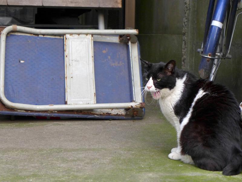 大柄黒白猫の欠伸2
