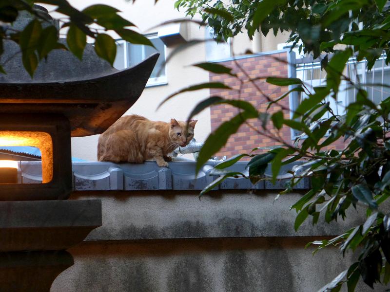 神社の塀の茶トラ猫2