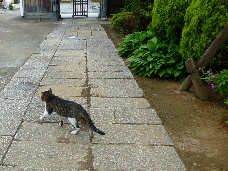 お寺の塀の上のキジ白猫3