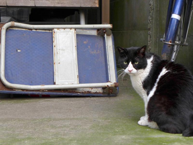 大柄黒白猫の欠伸3
