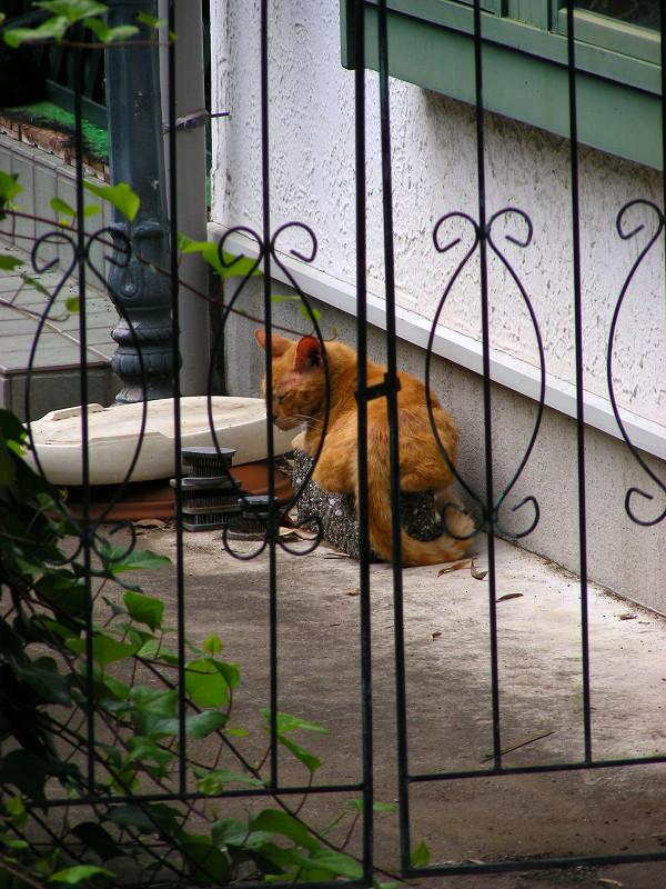 洋館門扉と茶トラ猫
