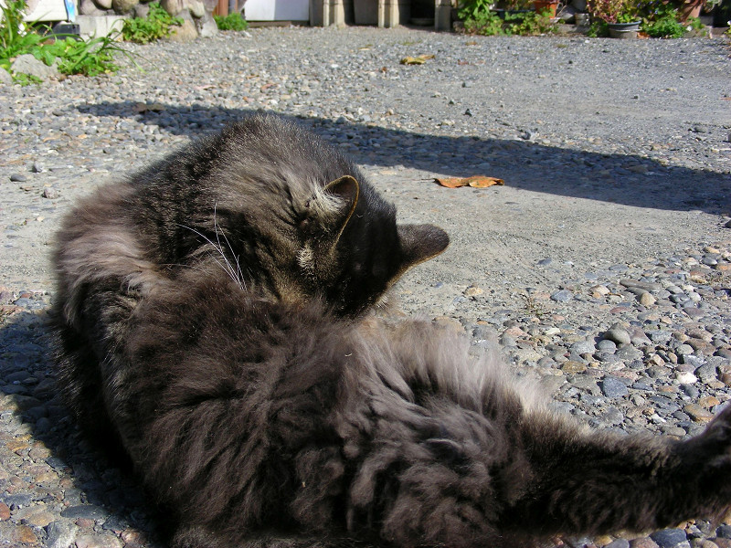 毛繕い中の毛長の黒猫2