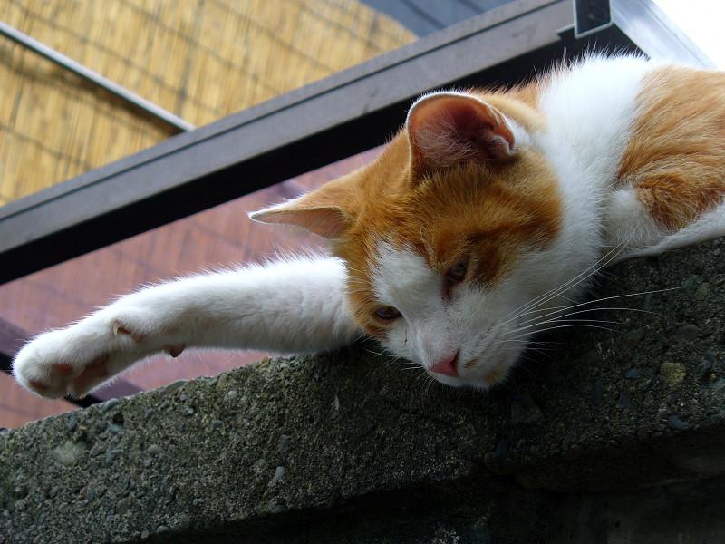 ブロック塀から見ている茶白猫3