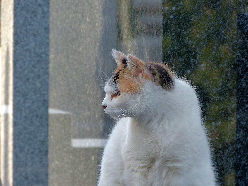 大理石の前の白三毛猫1