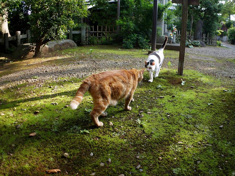 境内の茶トラ猫と白キジ猫1