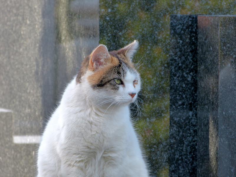 大理石の前の白三毛猫2