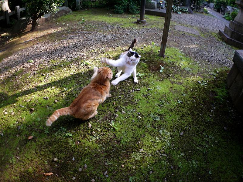 境内の茶トラ猫と白キジ猫2