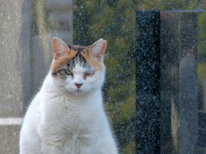 大理石の前の白三毛猫3