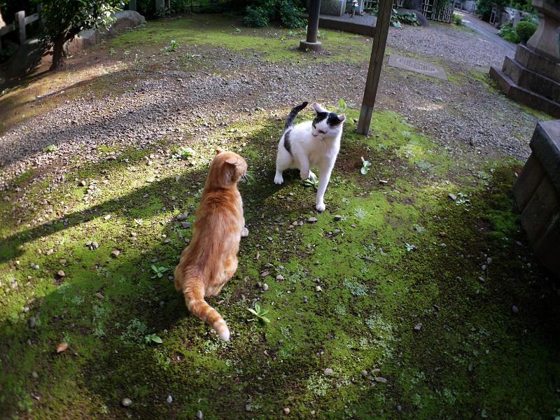 境内の茶トラ猫と白キジ猫3