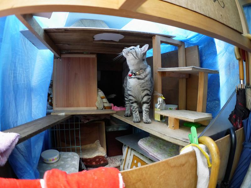 ハウスの屋根を見るサバトラ猫1