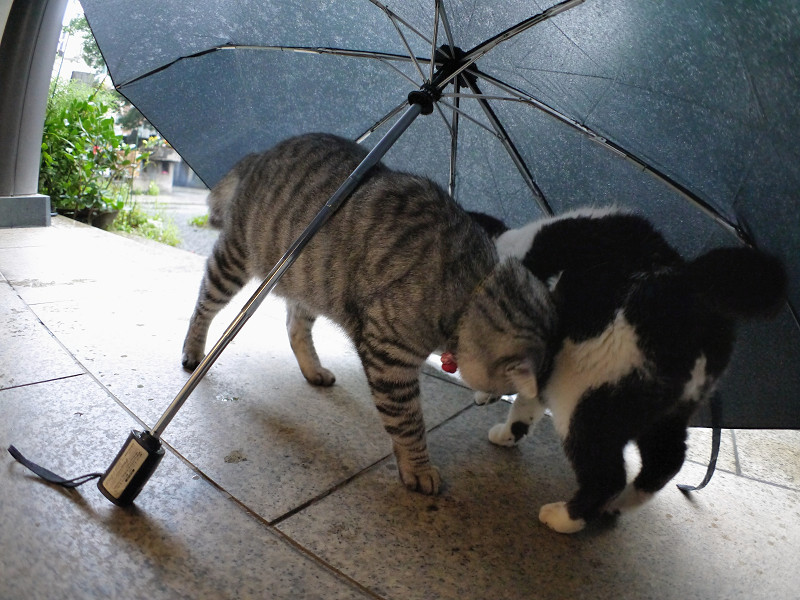折り畳み傘と白黒猫とサバトラ猫1
