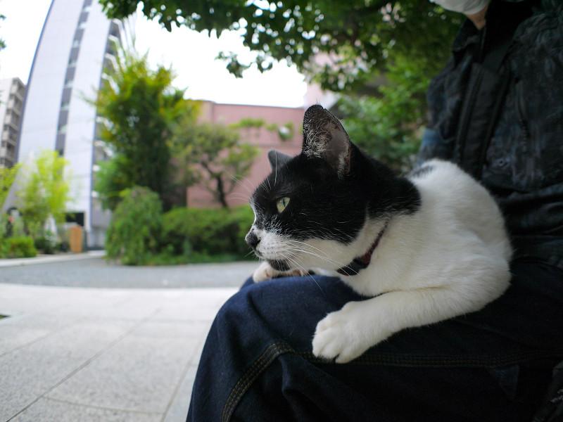 膝でじっとしてる白黒猫1