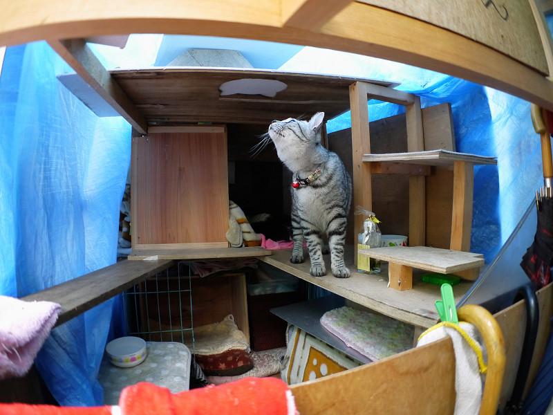 ハウスの屋根を見るサバトラ猫2