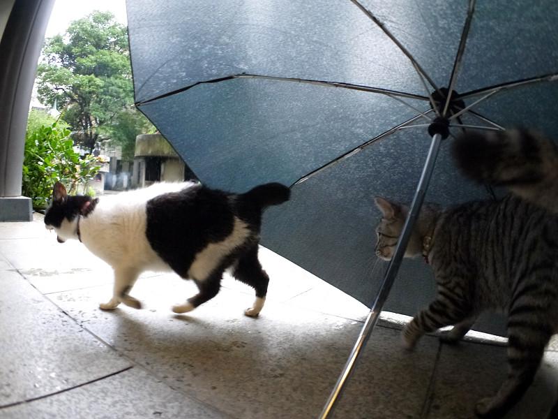 折り畳み傘と白黒猫とサバトラ猫2
