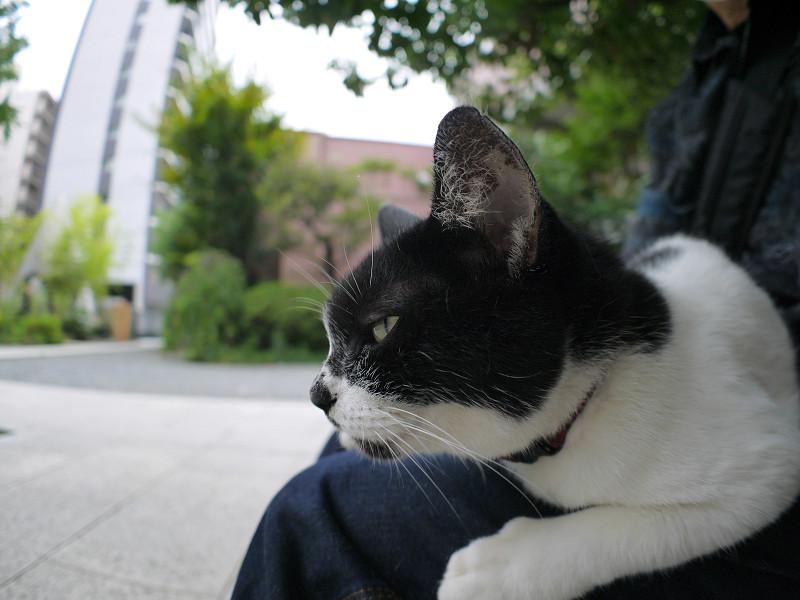 膝でじっとしてる白黒猫2