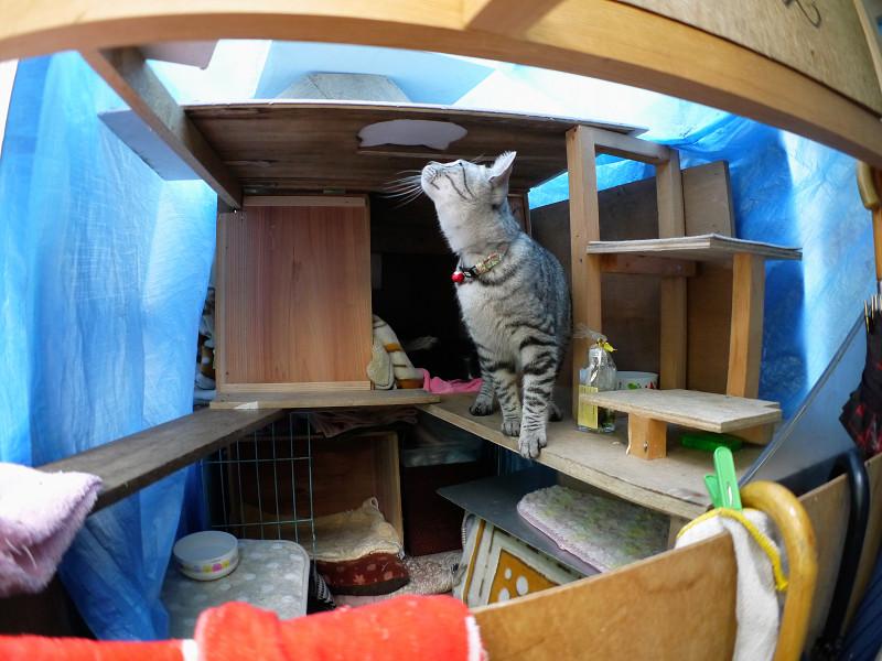 ハウスの屋根を見るサバトラ猫3