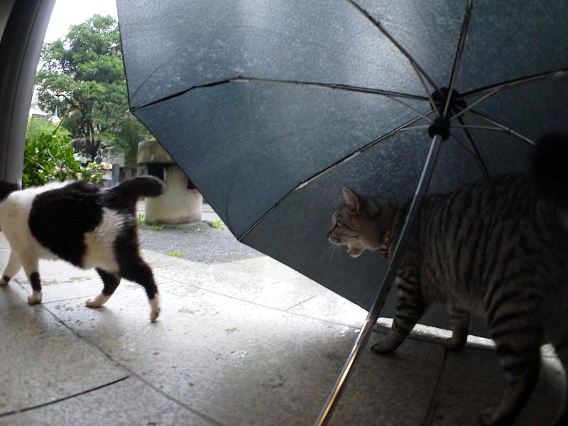 折り畳み傘と白黒猫とサバトラ猫3