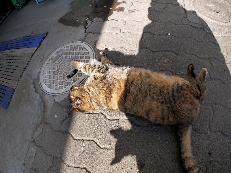 ゴロがっているキジトラ猫1
