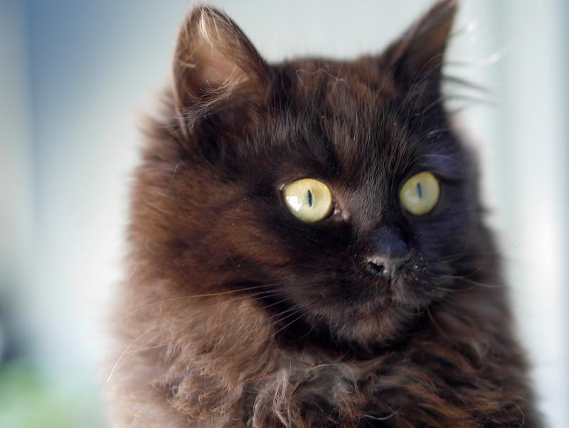 毛長の黒猫のポートレート1