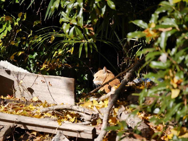 振り返った空き地の茶トラ猫1