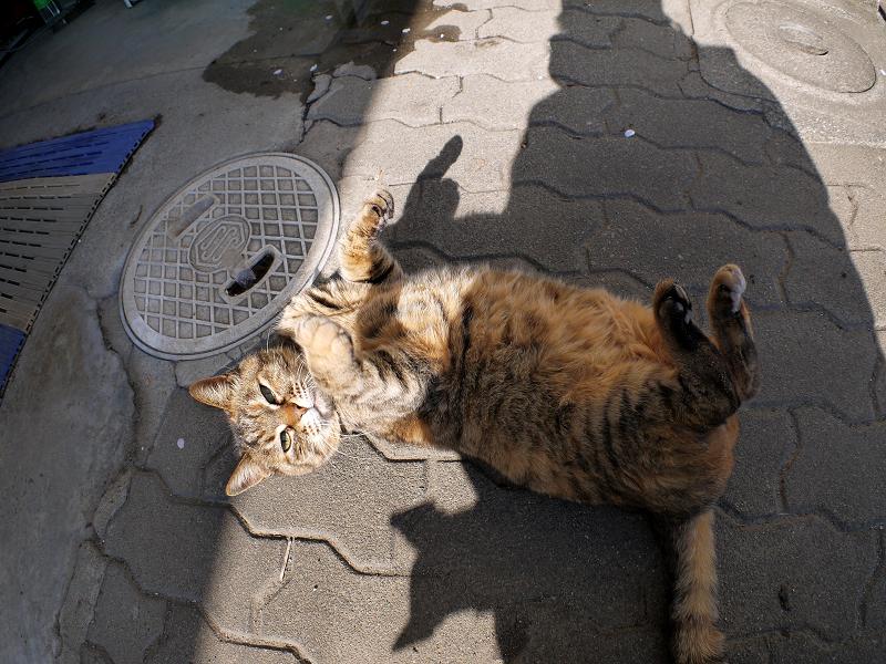 ゴロがっているキジトラ猫2