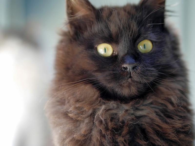 毛長の黒猫のポートレート2