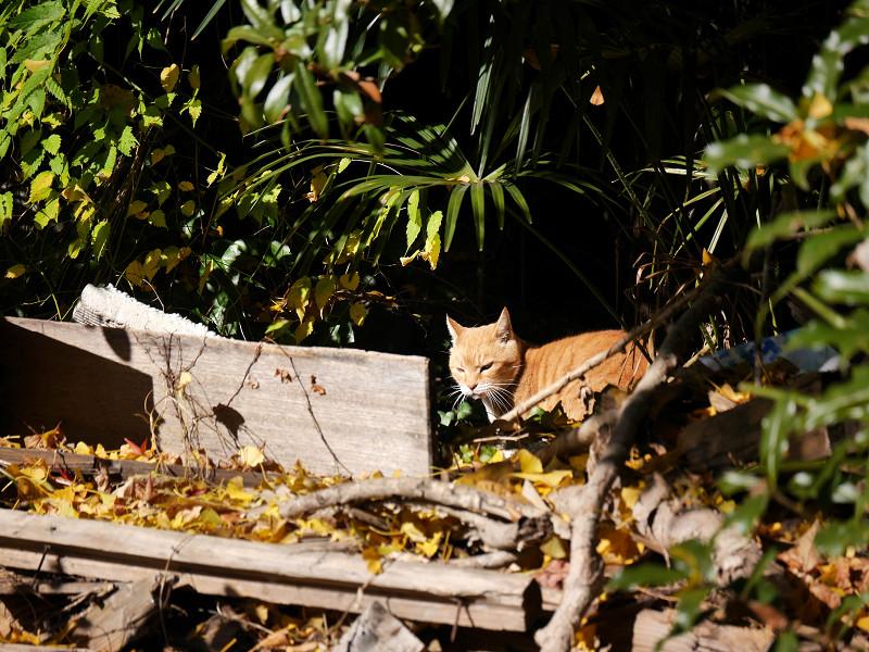 振り返った空き地の茶トラ猫2