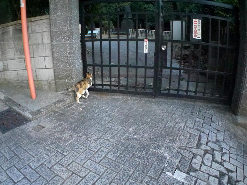 石畳を降りてくる三毛猫3