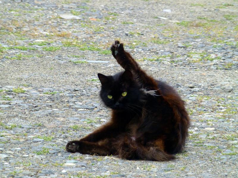 空き地の黒猫1