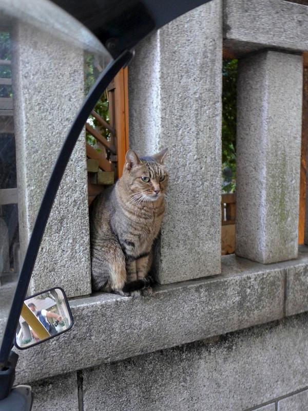 玉垣とキジトラ猫