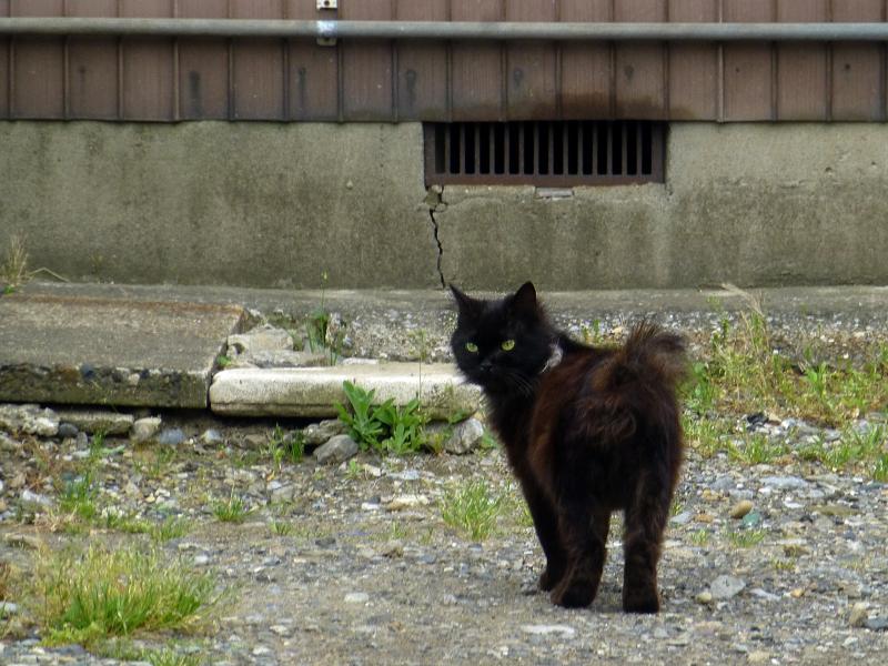 空き地の黒猫2