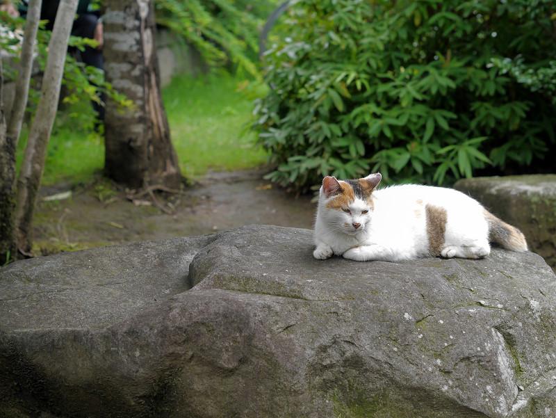 大岩と白三毛猫2
