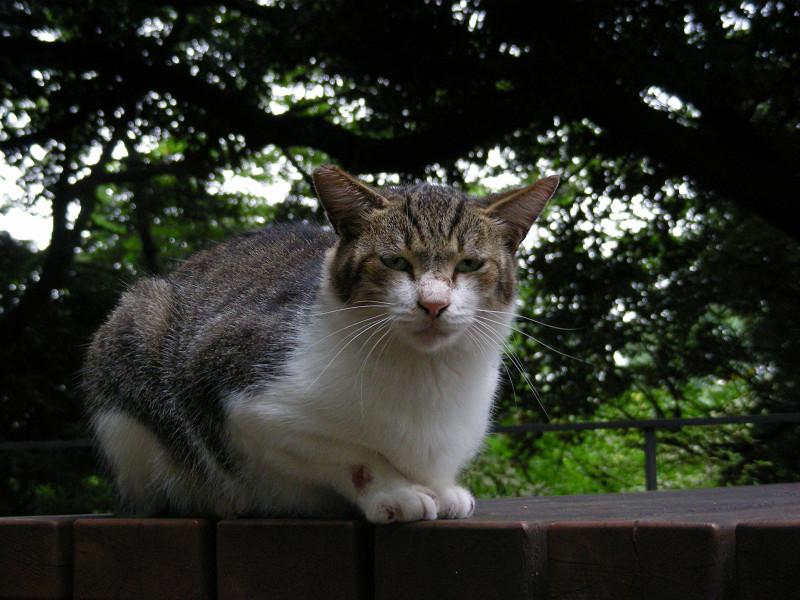 ベンチに乗ってるキジ白猫1