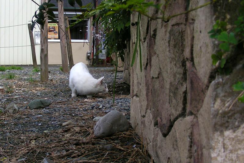 石組みを見ている白キジ猫1
