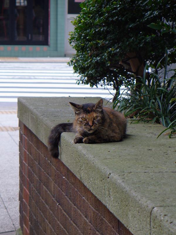 にらみ顔のサビ柄猫1