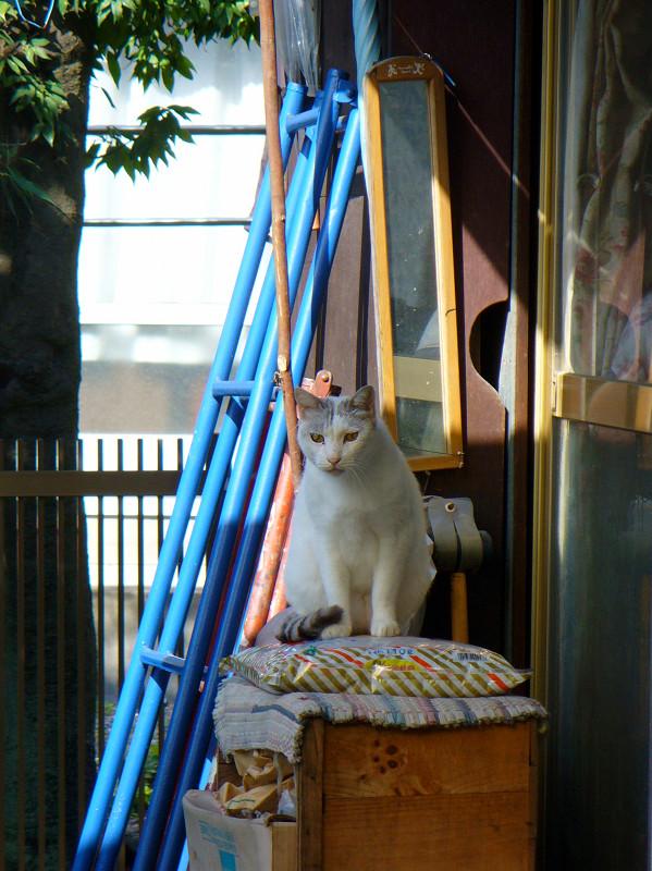 民家猫スペースの白キジ猫1